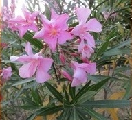 Oleander on the campsite
